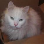 510068 fotos de gatos angora 6 150x150 Fotos de gatos angorá