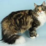510068 fotos de gatos angora 7 150x150 Fotos de gatos angorá
