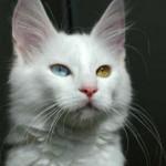 510068 fotos de gatos angora 8 150x150 Fotos de gatos angorá