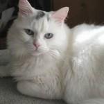 510068 fotos de gatos angora 9 150x150 Fotos de gatos angorá