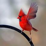 511348 fotos de passaros lindos e coloridos 14 150x150 Fotos de pássaros lindos e coloridos