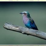 511348 fotos de passaros lindos e coloridos 2 150x150 Fotos de pássaros lindos e coloridos