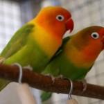 511348 fotos de passaros lindos e coloridos 30 150x150 Fotos de pássaros lindos e coloridos