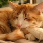 514445 fotos de gatos dormindo 11 150x150 Fotos de gatos dormindo