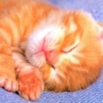 514445 fotos de gatos dormindo 3 150x150 Fotos de gatos dormindo