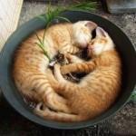 514445 fotos de gatos dormindo 37 150x150 Fotos de gatos dormindo