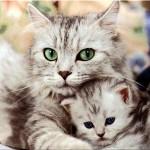 583234 Raças exóticas de gatos 150x150 Raças exóticas de gatos