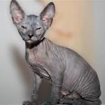 583234 Raças exóticas de gatos2 150x150 Raças exóticas de gatos