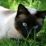 583234 Raças exóticas de gatos4 150x150 Raças exóticas de gatos
