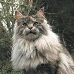 583234 Raças exóticas de gatos6 150x150 Raças exóticas de gatos