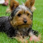 599053 Raças de cães Yorkshire informações e fotos 2 150x150 Raças de cães Yorkshire, informações e fotos