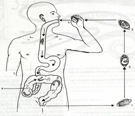 O carbonato de sódio de parasitas em um corpo humano como beber