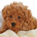 618732 Poodle como cuidar dicas fotos 7 150x150 Poodle: como cuidar, dicas, fotos