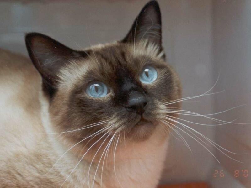 Gato siam s cuidados dicas para cuidar - Cuidados gato 1 mes ...