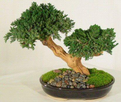 Saiba como cuidar de bonsai mundodastribos todas as - Como cuidar bonsais ...