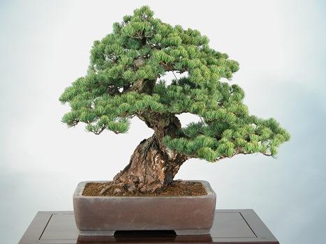 Saiba como cuidar de bonsai mundodastribos todas as for Como cultivar bonsais