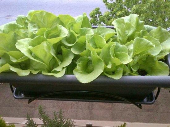Plantar alface no apartamento dicas passo a passo - Plantas de plastico baratas ...