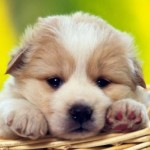 Raças de cachorros pequenos 00 150x150 Raças de Cachorros Pequenos   Fotos
