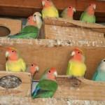 como tirar licenca criar pássaros01 150x150 Como Tirar Licença Para Criar Pássaros