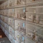 como tirar licenca criar pássaros02 150x150 Como Tirar Licença Para Criar Pássaros