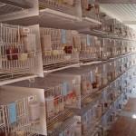 como tirar licenca criar pássaros04 150x150 Como Tirar Licença Para Criar Pássaros