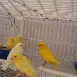 como tirar licenca criar pássaros07 150x150 Como Tirar Licença Para Criar Pássaros