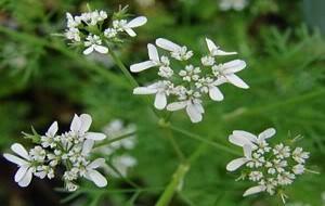 Noz-Moscada e Coentro: Aroma e Sabor à Mesa