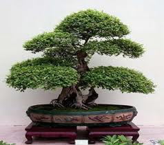 Como cuidar de bonsai mundodastribos todas as tribos - Como cuidar bonsais ...
