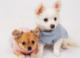 Raças de cachorros pequenos 3 Raças de Cachorros Pequenos
