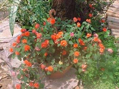 Como cultivar mini rosas em vasos